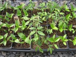 tomato and pepper seedlings in plugs